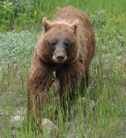 black bear head on